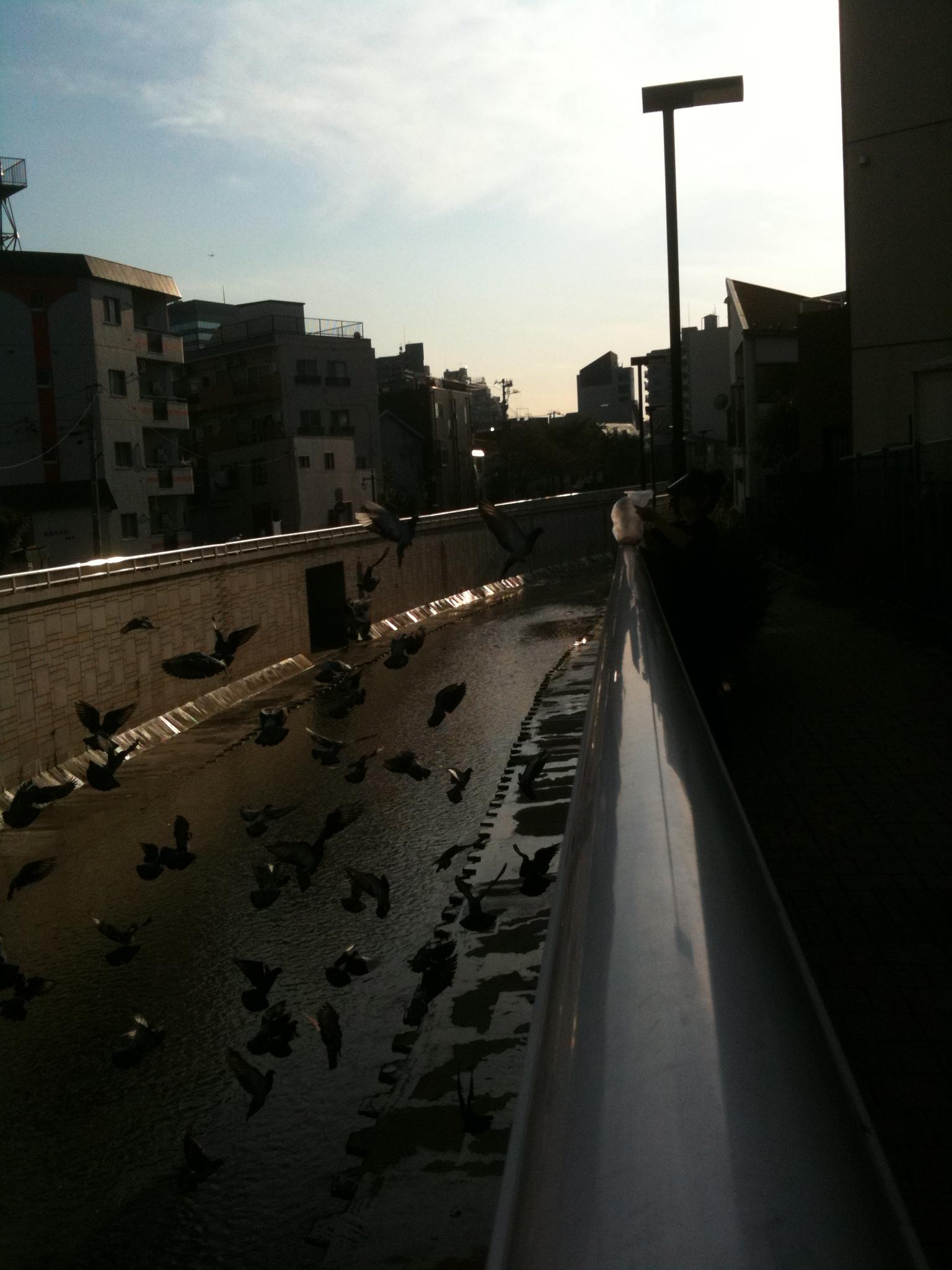 神田川の鳩